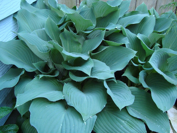 blue hosta halcyon hosta Hardy Perennials hosta plaintain lily shade perennial