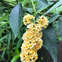 "Butterfly Bush 'Honeycomb' (Buddleia davidii) 5"" pot"