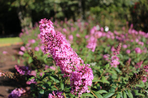 Butterfly Bush 'Pink Delight' quart pot