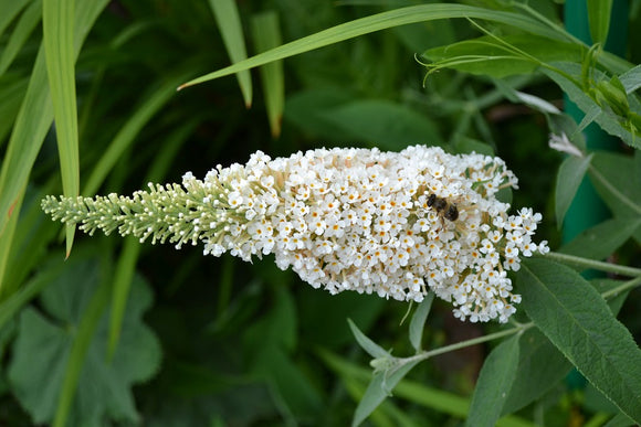 butterfly bush flowering shrub hummingbird plant summer blooming shrub white blooms