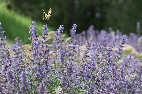 catmint deer resistant drought tolerant drought tolerant perennial full sun perennial walkers low catmint
