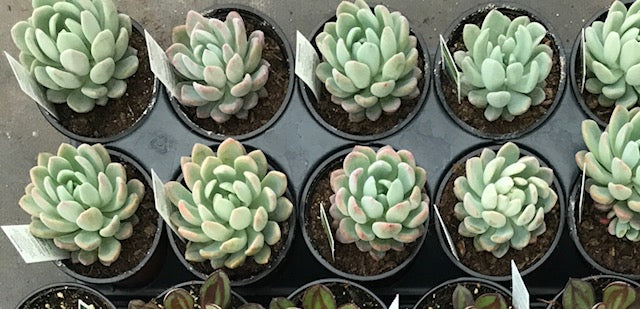 echeveria, echeveria gray red,succulents, echeveria succulents, deer-resistant, echeveria elegans,