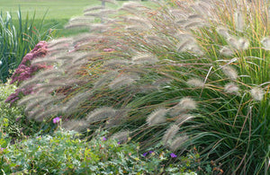 deer resistant drought tolerant fountain grass ornamental grasses pennisetum