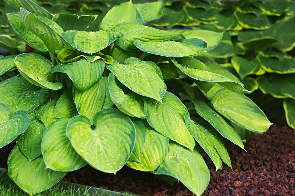 guacamole hosta Hardy Perennials hosta plaintain lily shade perennial