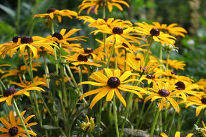 Black Eyed Susan Hardy Perennials Little Suzy