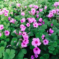 cottage pink oxalis deer resistant Hardy Perennials oxalis shade perennial shamrock plant