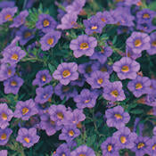 Calibrachoa hummingbird plants Million Bells Proven Winners summer annuals