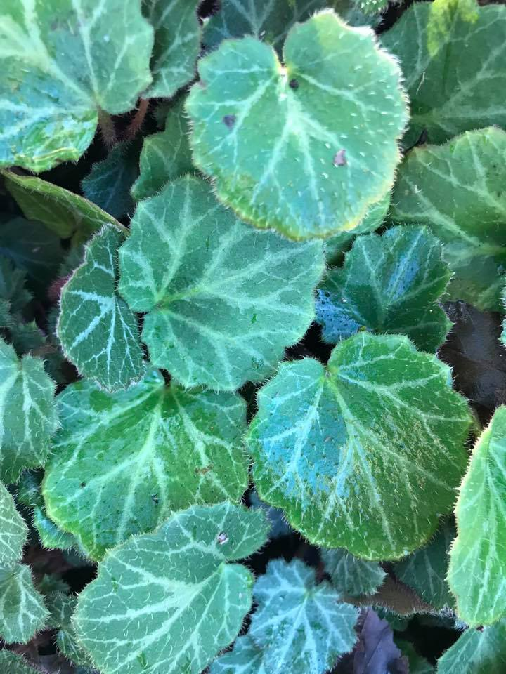 Creeping deer resistant drought tolerant perennial Groundcover Hardy Perennials saxifraga shade perennial shade perennial shade ground cover strawberry begonia