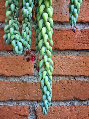 burro tail plant deer resistant donkey tail plant donkey tail sedum drought tolerant sedum succulent succulent drought-tolerant
