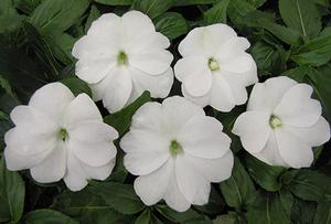 New Guinea Impatiens 'Paradise Pearl White'