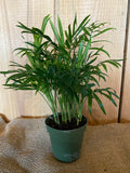 House Plants- Parlor Palm (Neanthe Bella)