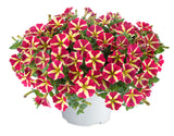 amore petunia annuals for full sun annuals for pots flower pots flowers for pots petunia queen of hearts petunia red and yellow petunia summer annuals summer flowers