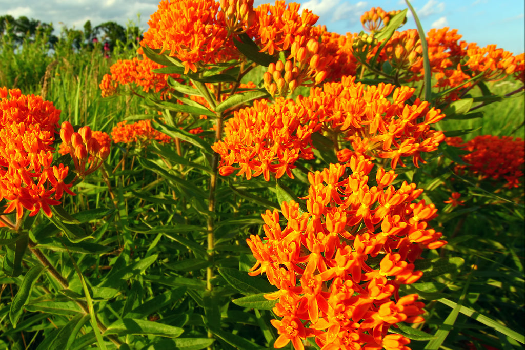 asclepias tuberosa butterfly attractor butterfly weed native perennial deer resistant drought tolerant drought tolerant perennial full sun perennial Hardy Perennials