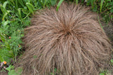 Carex  'Toffee Twist'