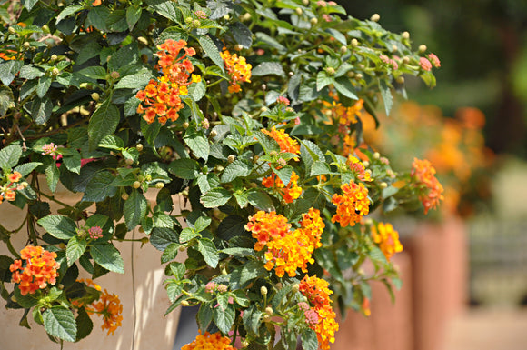 Lantana 'Spreading Sunset'