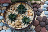 Succulents- Haworthia concolor