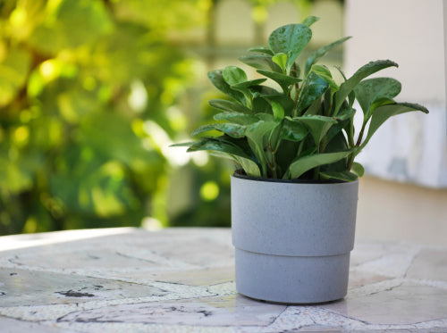 House Plants- Peperomia obtusfolia (Baby Rubber Plant)