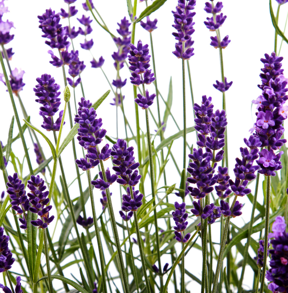 grosso lavender, french lavender, a classic French hybrid Lavender grown for its fragrant dark blue flower spikes and vigorous growth habit.