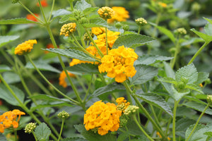 butterfly attractor deer resistant drought tolerant drought tolerant annual flower pots flowers for pots hummingbird plant lantana new gold lantana summer annuals