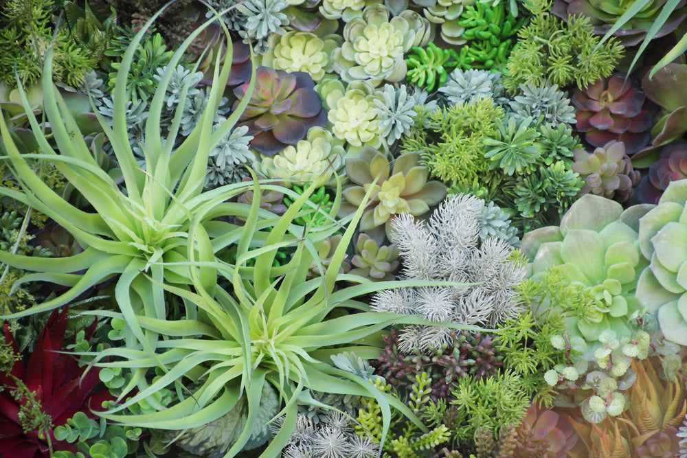 air plants, tillandsia, These members of the Bromeliad family can be found growing wild all over the southern USA and they are more popular than ever as easy-care houseplants.
