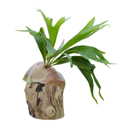 "House Plants- Staghorn Fern, Elkhorn Fern 4"" pot"