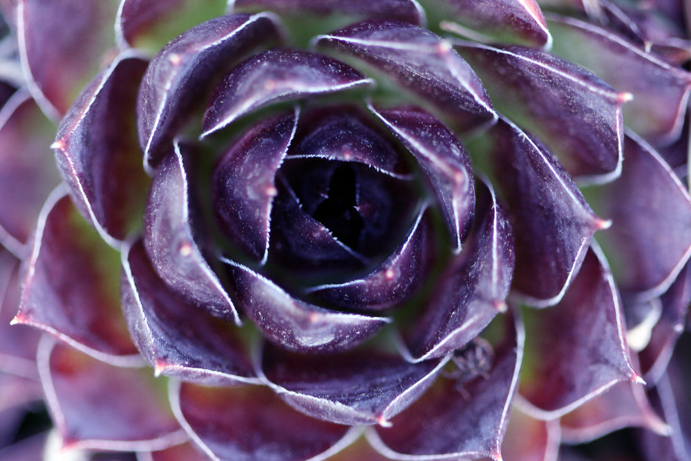 silver king hen and chick, sempervivum, With its evergreen rosettes of fleshy silvery-tinged mint green leaves that turn purple in winter, this one is a garden jewel.