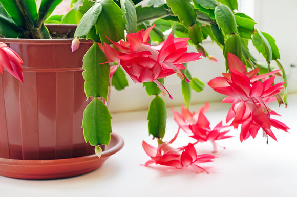 Christmas Cactus- Red