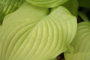 Hosta 'Sum & Substance' (Hosta x 'Sum and Substance)