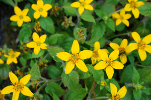 shade perennial native perennial native ground cover Hardy Perennials Green and Gold deer resistant Chrysogonum virginianum