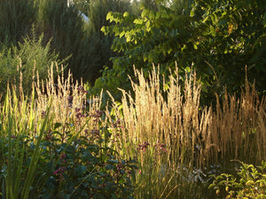 ornamental grasses Karl Foerster grass feather reed grass drought tolerant deer resistant