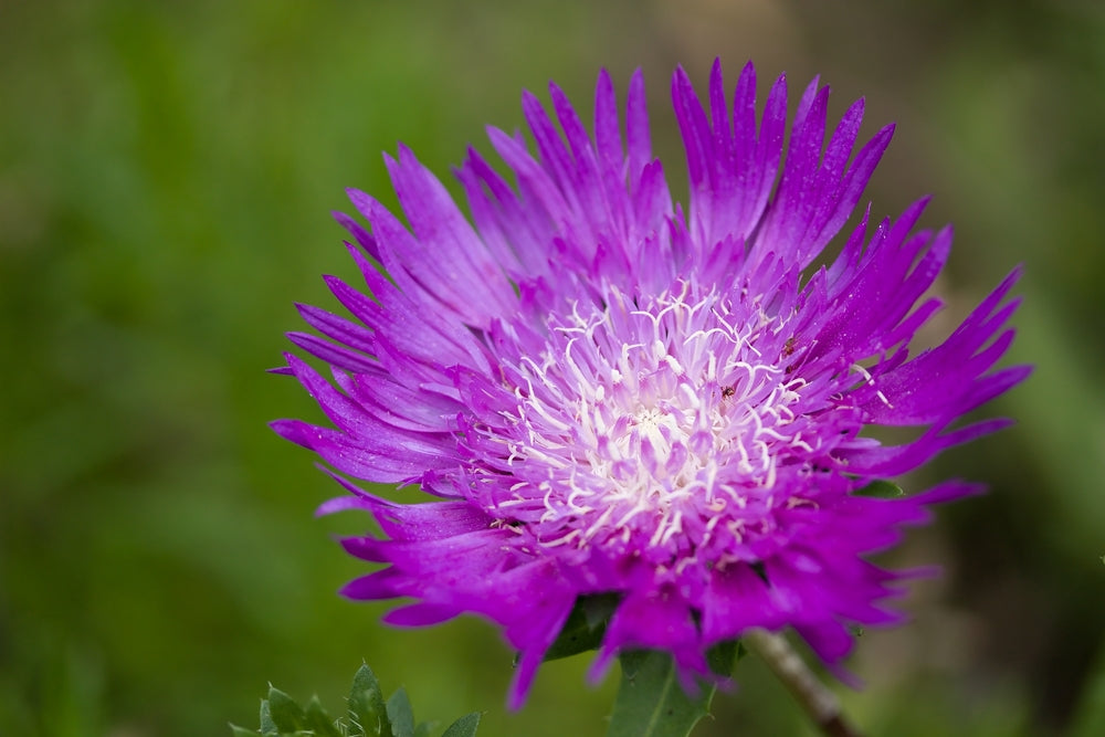 stokesia stokes aster purple parasols stokesia honey bee nectar plant Hardy Perennials full sun perennial drought tolerant perennial drought tolerant deer resistant cut flower butterfly attractor