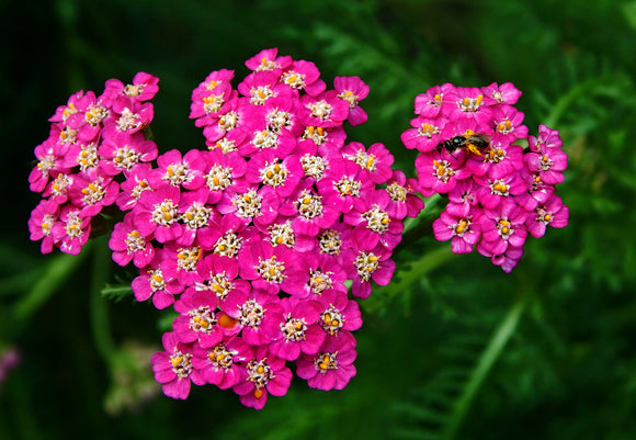 Yarrow 'Oertel's Rose'