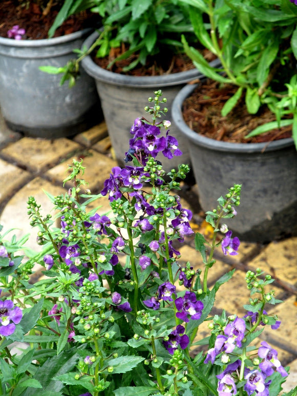 Angelonia 'Angelwings Dark Blue' Summer Snapdragon