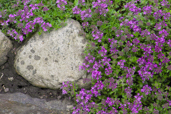 Thyme, Creeping Magic Carpet