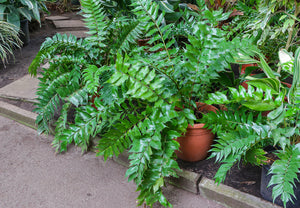 shade plants Japanese Holly Fern Holly Fern Hardy Perennials Ferns deer resistant fern