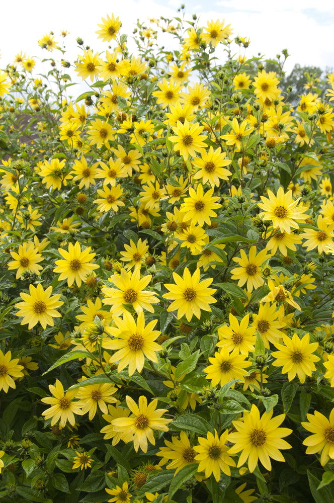 Helianthus sunflower 'Summer Nights' is a new deer-resistant introduction with very large golden orange blooms atop tall mahogany stems from mid to late summer.