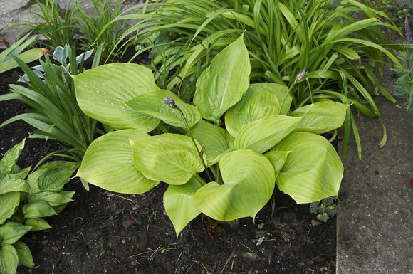 sum and substance hosta, gold hosta, If you want a BIG hosta for your shade garden, Sum & Substance is a good choice