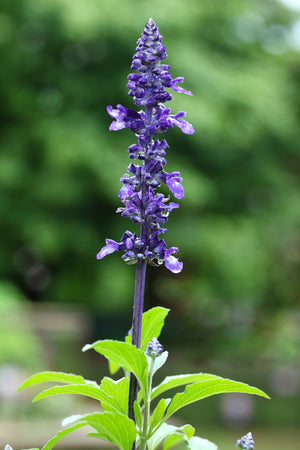 Salvia 'May Night'