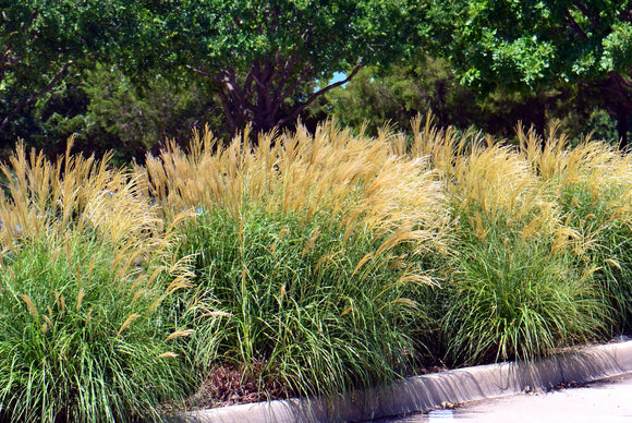 gracillimus maiden grass beautiful ornamental grass for full sun