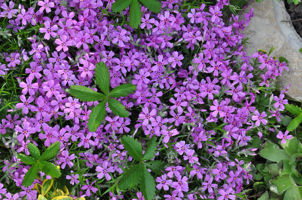 purple Beauty creeping phlox, creeping thrift. Ground-hugging perennial with evergreen foliage. A true gem in the spring garden with gorgeous, bright purple blooms that are sweetly fragrant