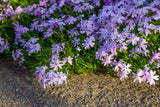 Phlox, Blue (Creeping Thrift)