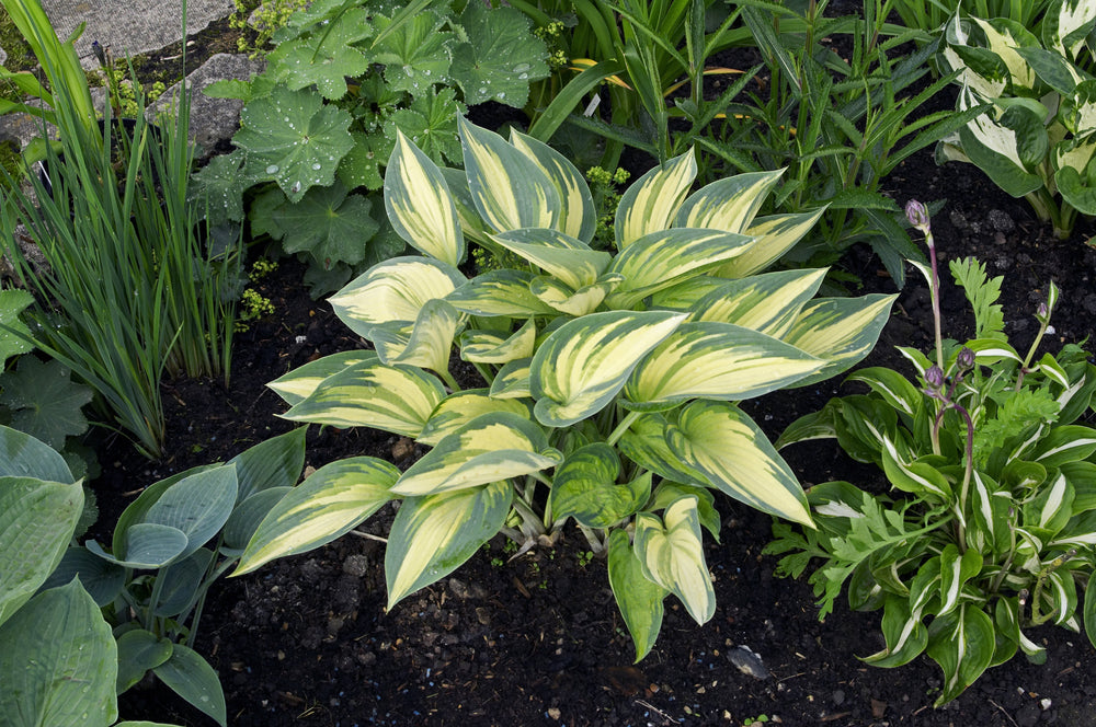 June Hosta shade garden perennial