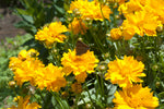 tick seed coreopsis Hardy Perennials full sun perennial Early Sunrise deer-resistant perennial coreopsis grandiflora Coreopsis