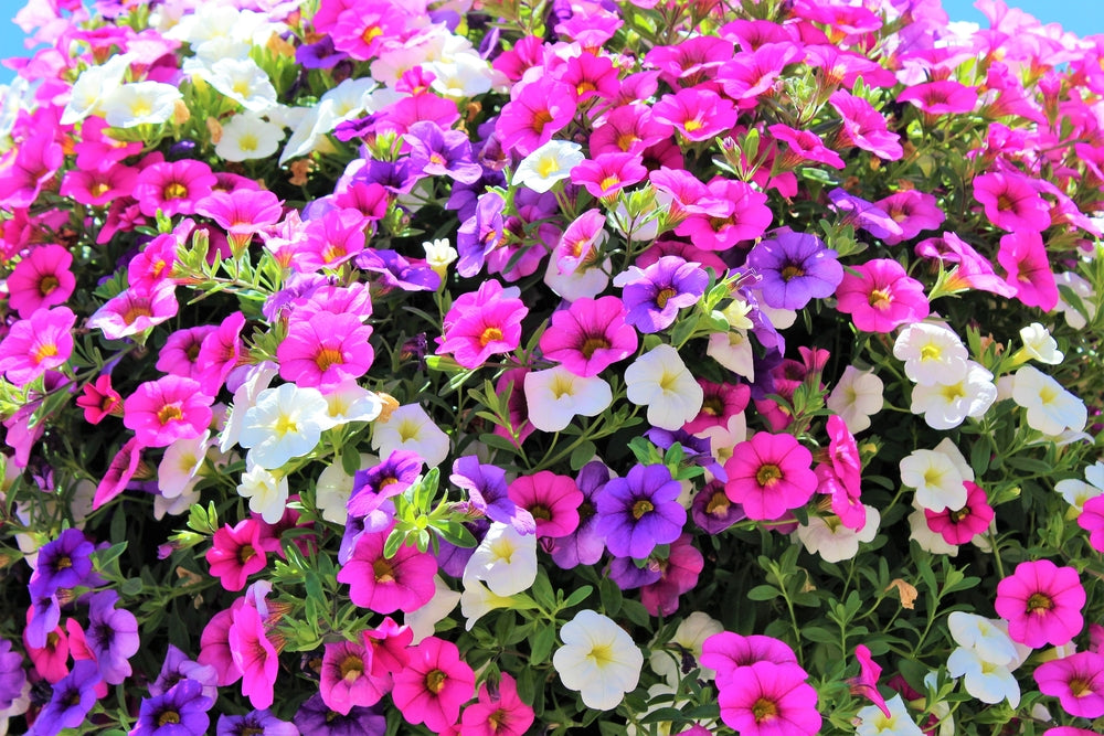 annuals for hummingbirds annuals for pots annuals for sun flower pots hummingbird plant noa mega pink calibrachoa noa mega pink million bells pink calibrachoa pink million bells summer annuals