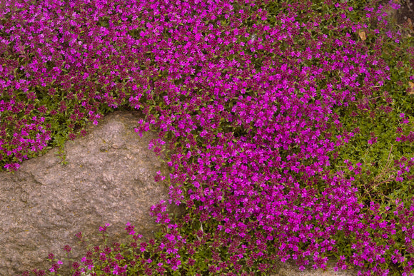 Thyme, Creeping Red (Thymus praecox 'Coccineus')