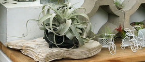Air Plant- Tillandsia Xerographica