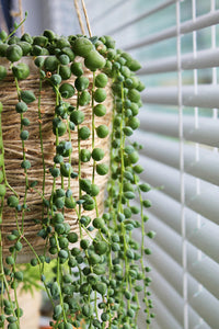 String of Pearls plant, Leaves grow on trailing stems, which hang down the sides of the pot and can extend up to two feet down if left alone.