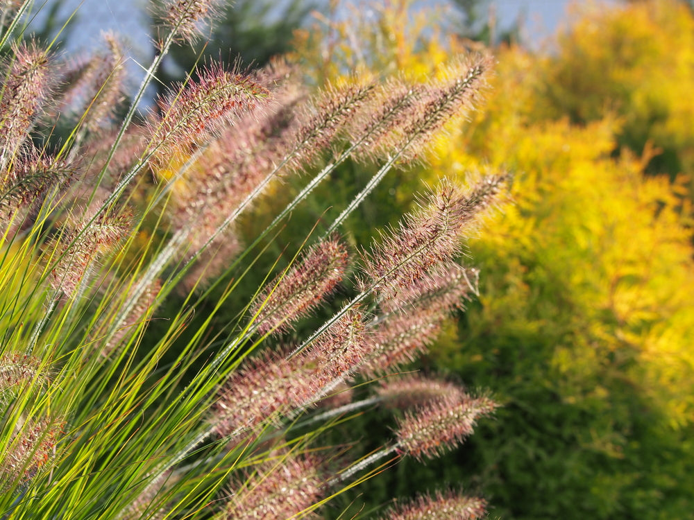 pennisetum ornamental grasses fountain grass moudry drought tolerant deer resistant