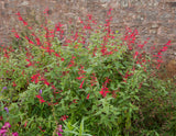 pineapple sage, salvia perennial, Explodes with very large bright red flowers just as summer begins and continues blooming thru fall. If you are looking for a plant that guarantees hummingbirds - this is it.