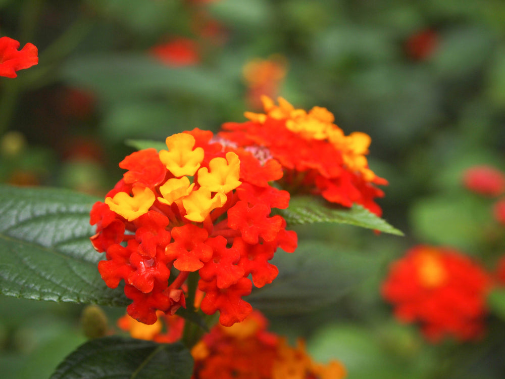 annuals for containers annuals for pots butterfly attractor deer resistant drought tolerant fireworks lantana flower pots hummingbird plant lantana red and yellow lantana summer annuals